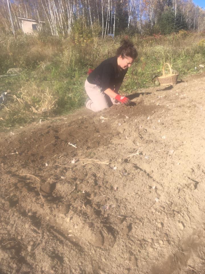 garlic being planted