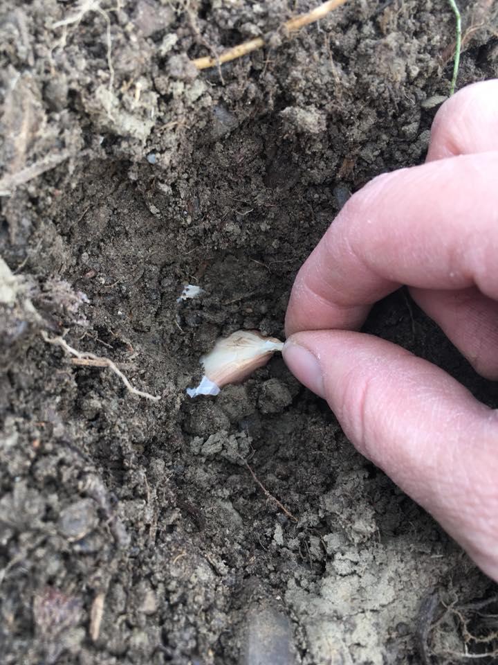 garlic being put in the soil