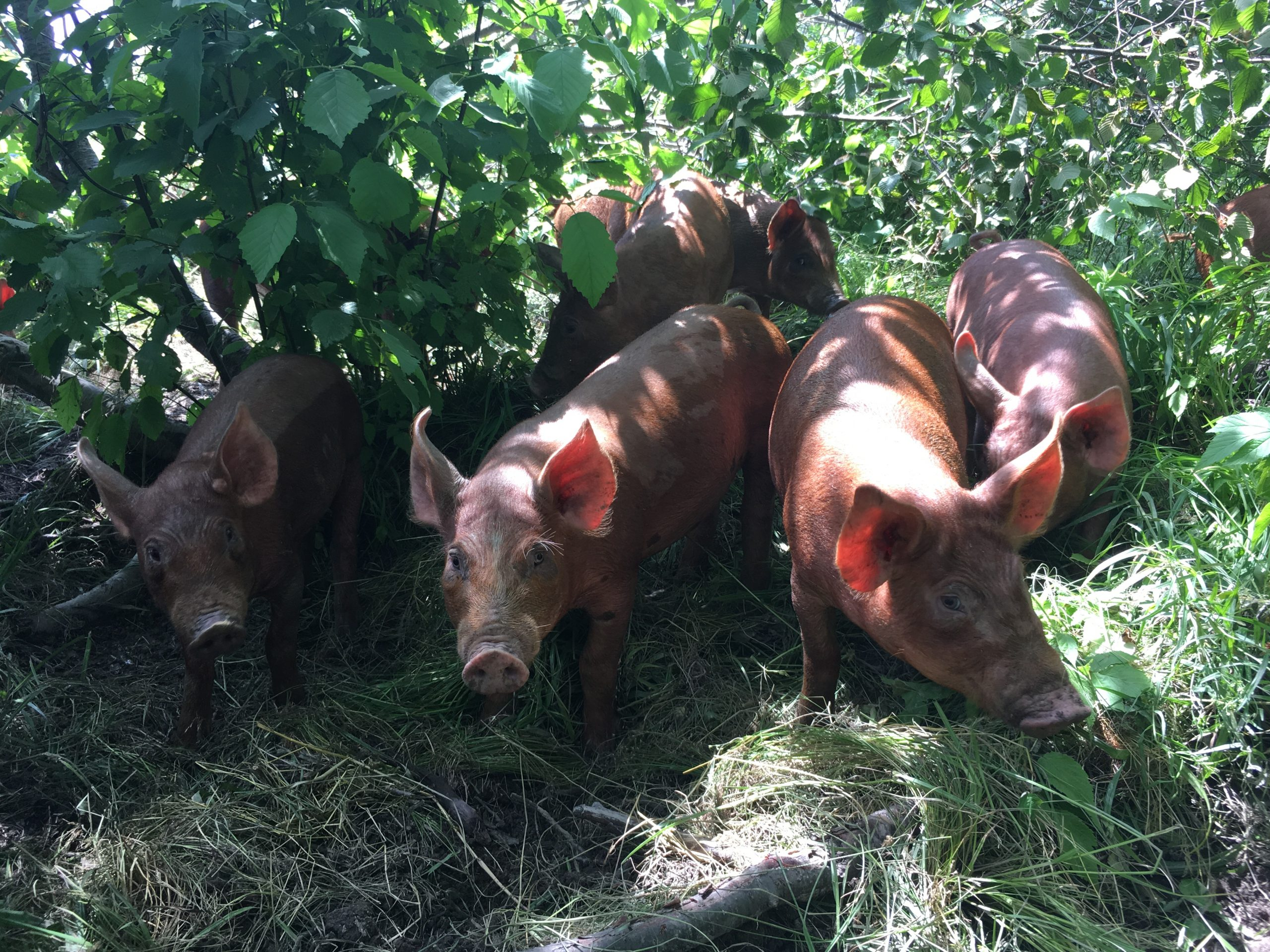 seven pigs in the grass